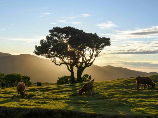 Fanal, Madeira – from foggy to golden hour